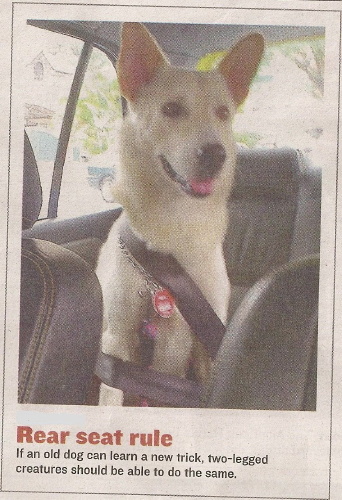 malaysian dog wearing seatbelt